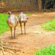 Emu standing on the ground in the zoo. — Foto Stock