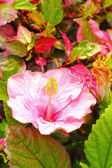 Hibiscus flowers - pink flower in the nature — Stock Photo