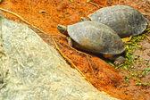 Tortugas de agua dulce que viven en la tierra. — Foto de Stock
