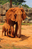Elephant. Mother with Baby Elephants Walking Outdoors. — Stock Photo