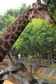 Giraff på zoo - giraff huvud. — Stockfoto