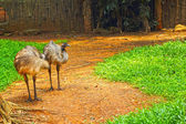 Emu standing on the ground in the zoo. — Stock Photo