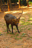 Sika deer - have Antler one Antler. in the zoo. — Stock Photo