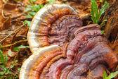 Ganoderma Lucidum - Ling Zhi Mushroom. — Stock Photo
