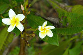 White and yellow frangipani flowers with leaves in background — Stock Photo