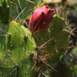 Stock Photo: Cactus in nature - closely