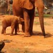 Elephant. Mother with Baby Elephants Walking Outdoors. — Stock Photo #36244907