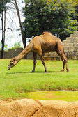 Camel standing in the zoo. — Stock Photo