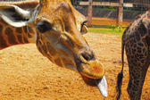 Girafa no zoológico - cabeça girafa. — Fotografia Stock