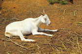 Goats portrait in a zoo. — Stock Photo