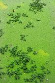 Green fern in the lake — Stock Photo