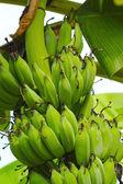 Bananeira com um cacho de bananas — Fotografia Stock
