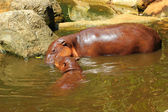 Hippo portrait in the nature - Mother and son hippocampus. — Stock Photo