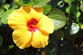 Hibiscus flowers - yellow flower in the nature — Stock Photo
