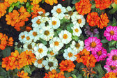 Colorful daisy flowers in the garden — Stok fotoğraf