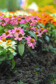 Colorful daisy flowers in the garden — Stock Photo