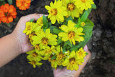 Colorful daisy flowers in the garden - in hand — Stok fotoğraf