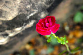 Pink rose in the nature — Stock Photo