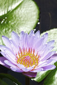 Purple lotus flowers in the nature — Stock Photo