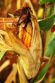 Espiga de milho em um campo — Fotografia Stock