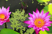 Pink lotus flowers in the nature — Stock Photo