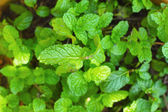 Pepper mint leaves background texture — Stock Photo