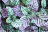 Leaves purple background in the nature — Stock Photo