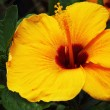 Hibiscus flowers - yellow flower in nature — Stock Photo