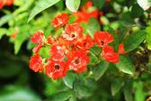 庭にオレンジ ローズ — ストック写真