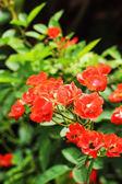 Pomarańczowy rose w ogrodzie — Zdjęcie stockowe