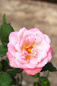 Close-up of pink rose — Stock Photo