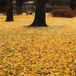 Ginkgo trees with leaves that dropped. — Stock Photo