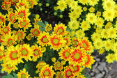 Beautiful yellow chrysanthemum in the garden — Foto de Stock