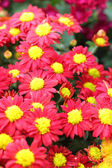 Daisy flowers - red and yellow flowers in nature — Stock Photo
