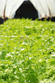 Green vegetable in hydroponic farm — Stock Photo