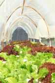 Butter head vegetable in hydroponic farm — Stockfoto