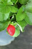 Fresh strawberry in the garden — Stock Photo