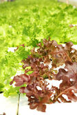 Red coral vegetable in hydroponic farm — Stock Photo