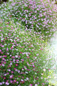 Pink baby's breath flowers in the garden — Stock Photo