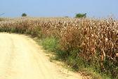 Bir alanda mısır mısır koçanı — Stok fotoğraf