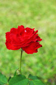 Red rose in the nature — Stock Photo