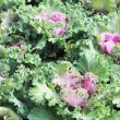 Stock Photo: Close-up of decorative curly kale