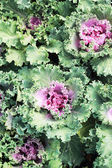 Close-up of a decorative curly kale — Stock Photo
