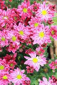 Gerbera çiçekleri bahçe — Stok fotoğraf