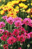 Gerbera flowers in the garden — Stock Photo