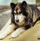 Large dogs furry winter sat staring. — Stockfoto