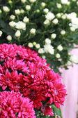 Gerbera Blumen im Garten — Stockfoto