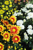 Gerbera flowers in the garden — ストック写真