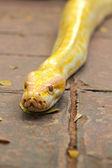 змея альбинос на природе — Стоковое фото