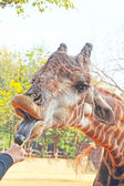 Giraffe in a zoo eating vegetables. — Stock Photo